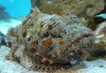 Cá mặt quỷ: Hung thần đại dương hóa đặc sản yêu thích của du khách
